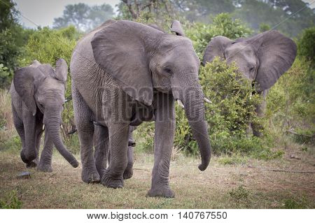 elephant herd walking threw Kruger Park in south Africa, wildlife photography