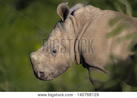 rhinoceros baby portrait in south Africa, wildlife photography