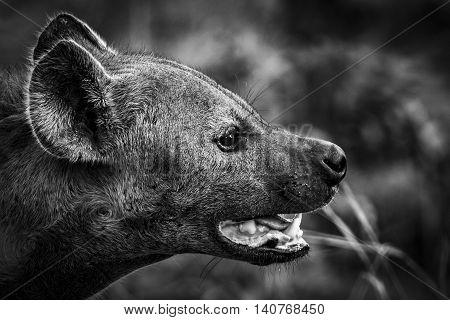 hyena portrait black & white in african wildlife