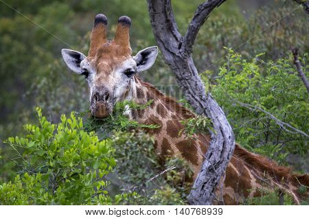 eating giraffe in south africa, wildlife photography