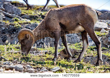 Big Horn Close Up Portrait In Jasper Park Canada