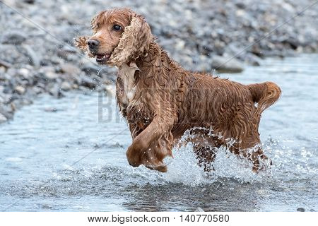 Puppy Young Dog English Cocker Spaniel While Running In The Water
