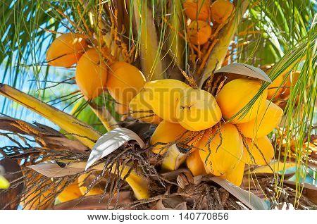 Coconut Palm tree at Aruba - Caribbean island
