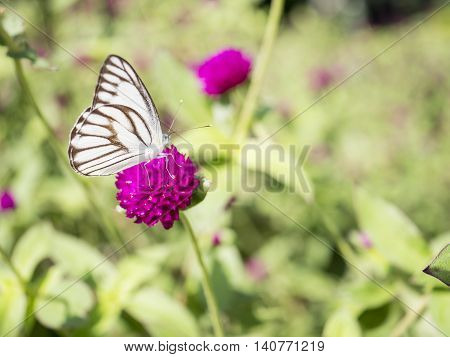 Close up white butterfly on Globe amaranth flower in the garden with blur garden (Selective Focus)