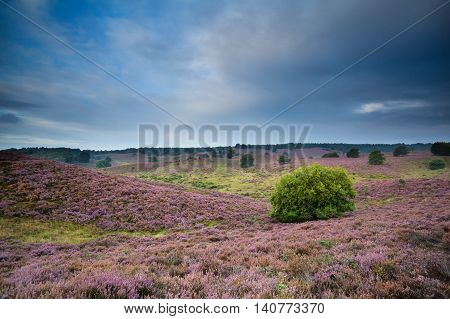 pink hills with flowering heather in summer