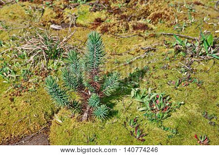 young plant of italian stone pine, typical tree of the mediterranean country, growing on a green yellow carpet of moss