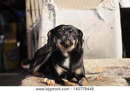 A small mixed black dog resting on an old chair in the city of Zhaodong China in Heilongjiang province.