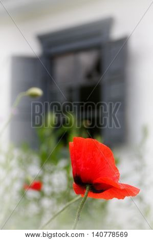Poppies on a background of the parent window of a house resembling a mother's heart
