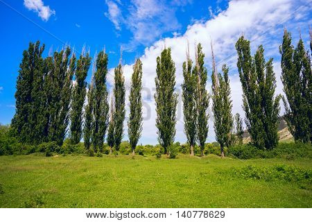 High poplar on a green meadow. Crimea, Russia