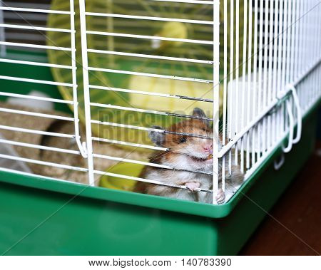 Brown Syrian hamster gnaws inside a cage eager to freedom