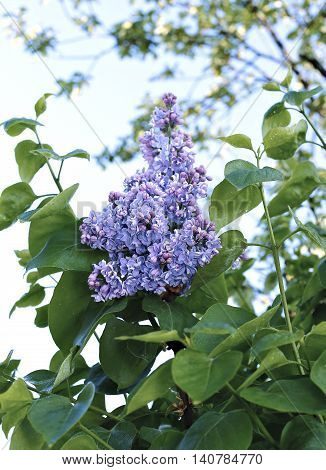 Blossoming violet lilac in the city park