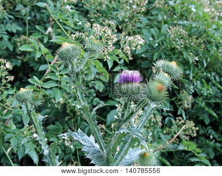 Bush of blooming prickly thistle in wild nature