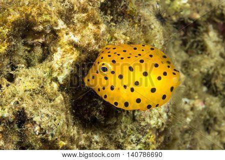 Yellow Boxfish, Ostracion Cubicus