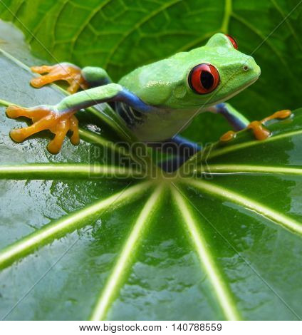 Red eye tree frog resting on wet green leaf showing vivid coloration.