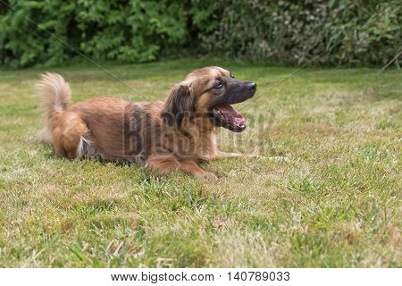 Side view of the crossbreed dog is lying on the lawn. Dog has a protruding tongue.
