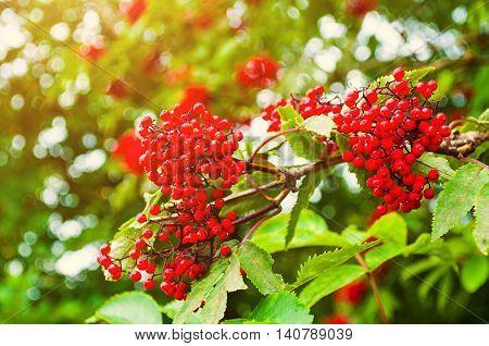 Summer colorful closeup view of red elderberry in Latin Sambucus racemosa under soft sunlight.