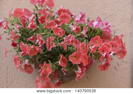 a surfinia petunia in the vase on wall