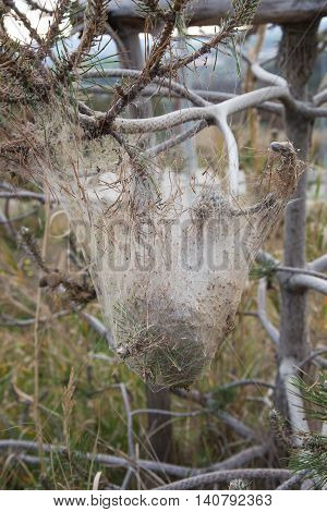 Nest of Thaumetopoea pityocampa wrapped in its cocoon on a branch of conifer