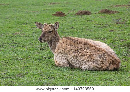 Deer without a horn lying on the grass. Animals