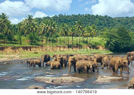 Pinnawala Elephant Orphanage. Many elephants bathing in the river. Sri Lanka beautiful landscape of the jungle and of elephants in the river. View of the jungle with palm trees and blue sky.