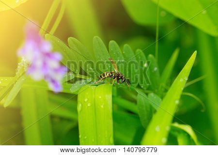 wasp on leaves.wasp on a green leaf. Macro shot of a Wasp sitting on the end of a leaf