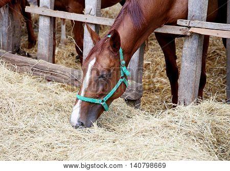 Gidran horse sharing hay on rural animal farm