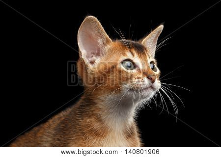 Closeup portrait of Cute Abyssinian Kitty Curious Looks on Isolated Black Background, Profile view