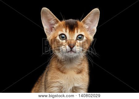 Closeup portrait of Cute Abyssinian Kitty Curious Looking in Camera on Isolated Black Background, Front view, Young Cat