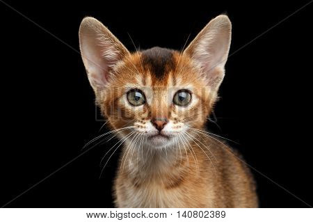 Closeup portrait of Cute Abyssinian Kitty Curious Looking in Camera on Isolated Black Background, Front view, Adorable Cat