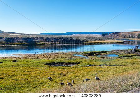 Geese On Shore Of Yellowstone River