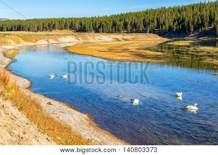 Swans And Yellowstone River