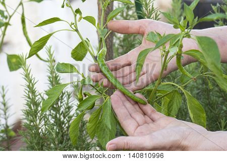 cayenne pepper plant, cayenne pepper person grabs in hands