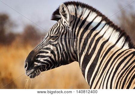 Head of a Zebra in the Etosha National Park in Namibia Africa concept for traveling in Africa
