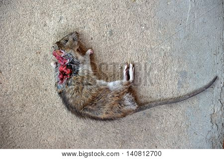dead rat with bloody wound  lie on  floor