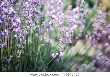 View Of Fresh Lavender In Fields