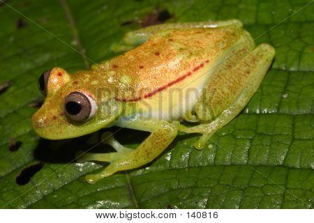 Green Frong - Ecuador