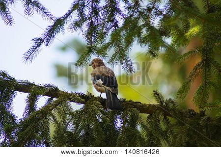 Jay sitting on a tree branch. Birds in the wild.