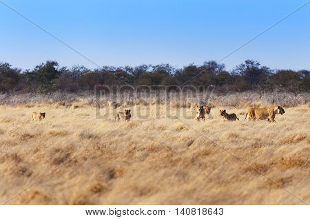 Pride of lions in the savannah in Namibia Africa concept for safari travel and travel in Africa