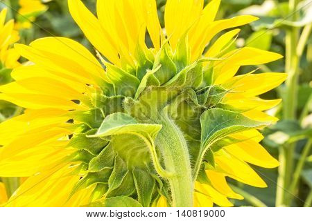 Flower of a sunflower on the back side backlight close-up