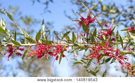 Red flowers of australian Grevillea splendour blooms growing in the garden against blue sky
