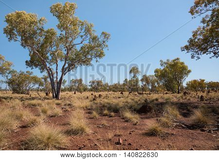 Australian outback with gum trees ant hills and red soil
