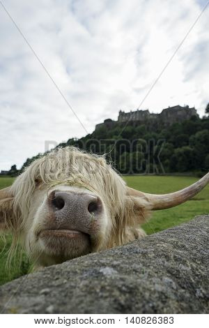 Highland cow peering over a wall near stirling castle