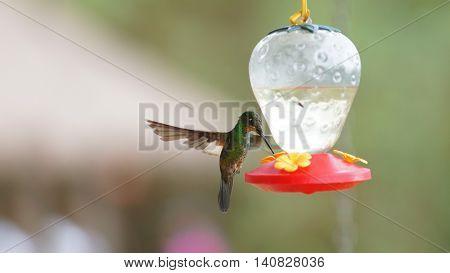 Hummingbird - Buff winged starfrontled (Coeligena lutetia) drinking water in plastic sprue in the reserve Yanacocha - Ecuador