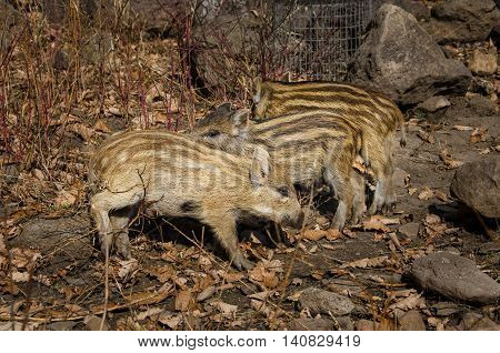 Small wild striped piglets in a safari park