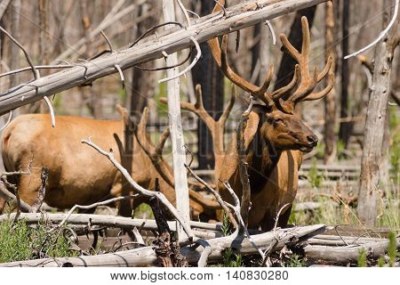Several large bull elk graze together in Yellowstone