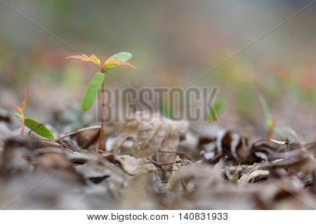 New life and fresh starts, maple tree starts