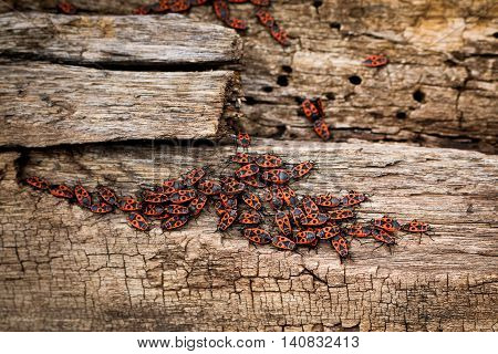 Grey with brown, dry wooden stump with bark residues, with an army of red firebugs on it