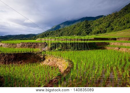Rice Fields On Terraced Of Pa Pong Pieng, Mae Chaem, Chiang Mai, Thailand - Vibrant Color Effect