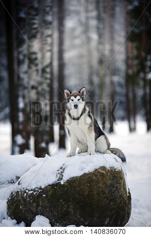 Dog Breed Alaskan Malamute Walking In Winter