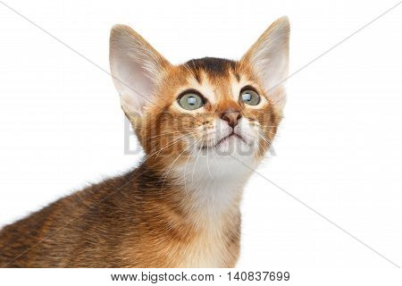 Close-up Face of Cute Abyssinian Kitty Curious Looks up on Isolated White Background, Front view